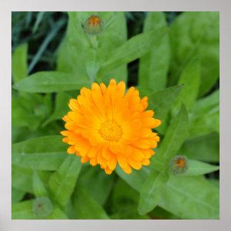 Poster anaranjado de la flor del Calendula