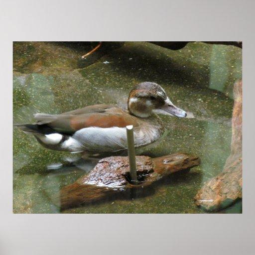 Poster anillado del pato del trullo póster