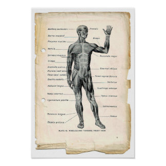 Poster anterior de la anatomía