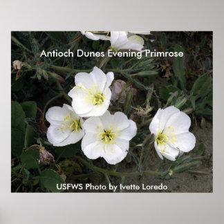 Poster / Antioch Dunes Evening Primrose