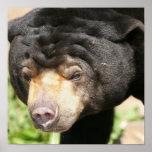 Poster asiático del oso
