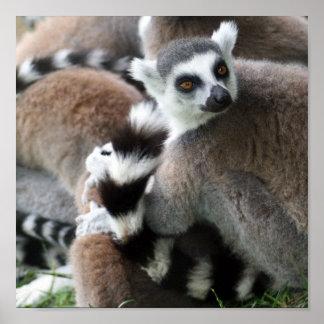 Poster atado anillo de los Lemurs