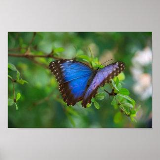 Poster azul de la mariposa de Morpho