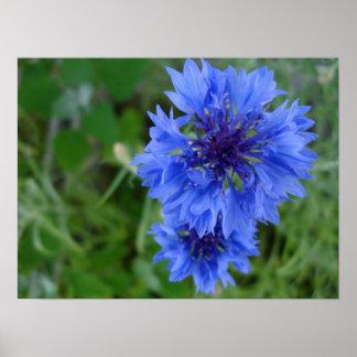 Poster azul del Cornflower