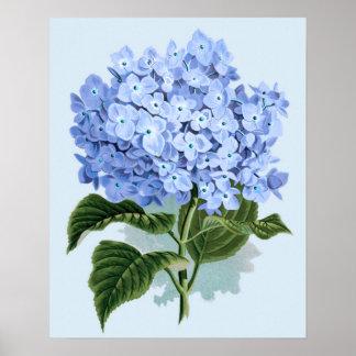 Poster azul del Hydrangea del vintage Póster