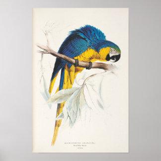 Poster azul y amarillo del Macaw
