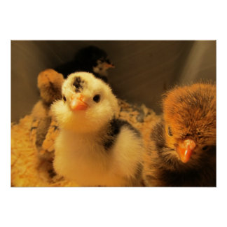 Poster--Baby Chick  Black Spots Poster