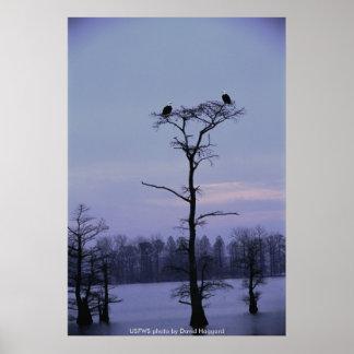 Poster / Bald Eagles at Reelfoot NWR