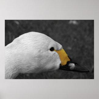 Poster - Bewick Swan