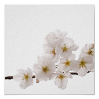 Poster blanco bonito de las flores de cerezo