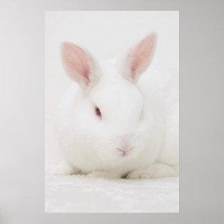 Poster blanco del conejo