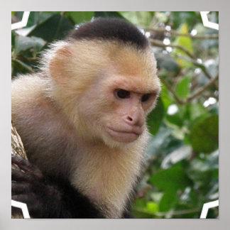 Poster blanco del mono del capuchón de Cheeked