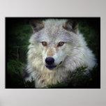 Poster blanco del partidario de la fauna del lobo