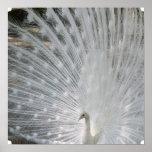 Poster blanco del pavo real