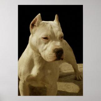 Poster blanco del pitbull