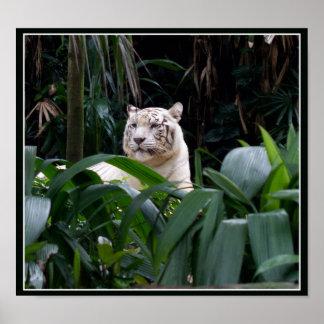Poster blanco del tigre