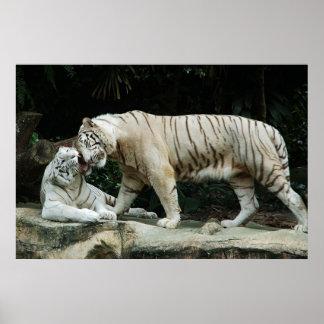 Poster blanco del tigre de Bengala
