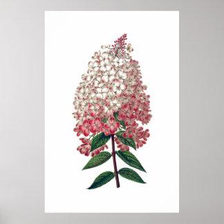 Poster blanco rosado del hydrangea