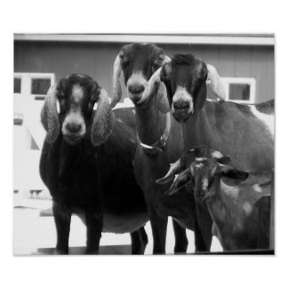 Poster blanco y negro de la familia de la cabra