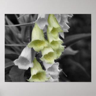 Poster blanco y negro de la flor de los Foxgloves