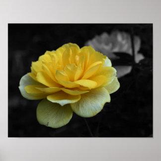 Poster blanco y negro de la flor del rosa amarillo