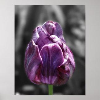 Poster blanco y negro de la flor del tulipán púrpu