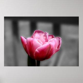 Poster blanco y negro o impresión del tulipán rosa