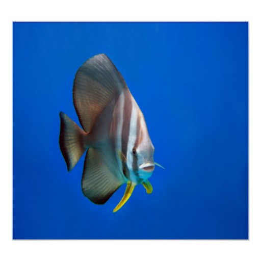 Poster - Blue Bat Fish
