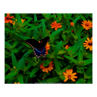 Poster Blue Butterfy - Coastal North Carolin...
