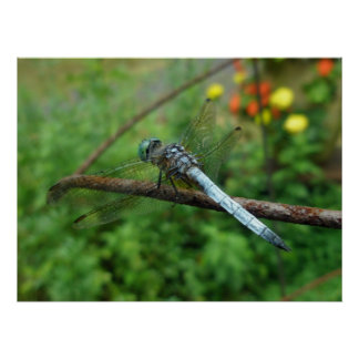 Poster Blue Dasher Dragonfly