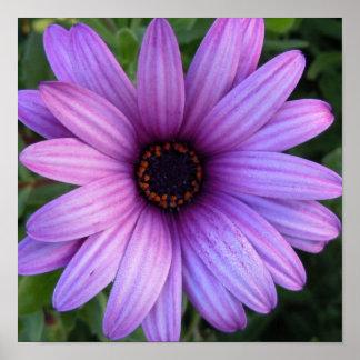 Poster bonito de la flor del aster