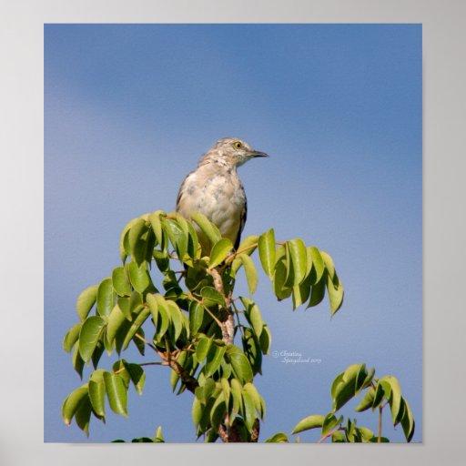 Poster bonito del pájaro del Mockingbird