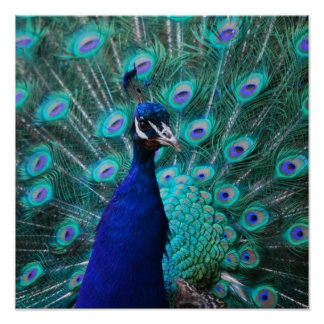 Poster bonito del pavo real