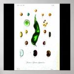 Poster-Botanicals-Habas