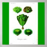 Poster-Botanicals-Lettuces