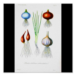 Poster-Botanicals-Onions and Garlic Poster