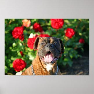 Poster Brindle del perro del boxeador