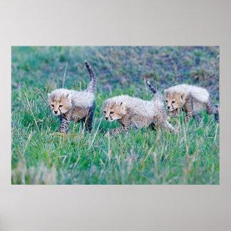 Poster - cachorros del guepardo 36x24 tres