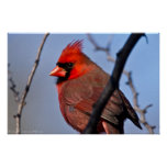 "Poster cardinal masculino rojo ""de un vistazo"""