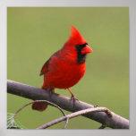 Poster cardinal septentrional
