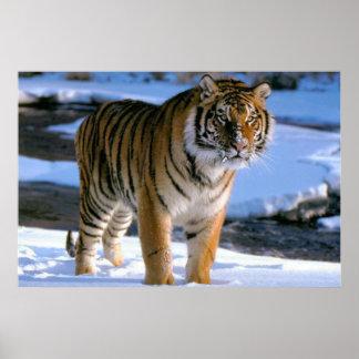 Poster cariñoso del tigre de la nieve