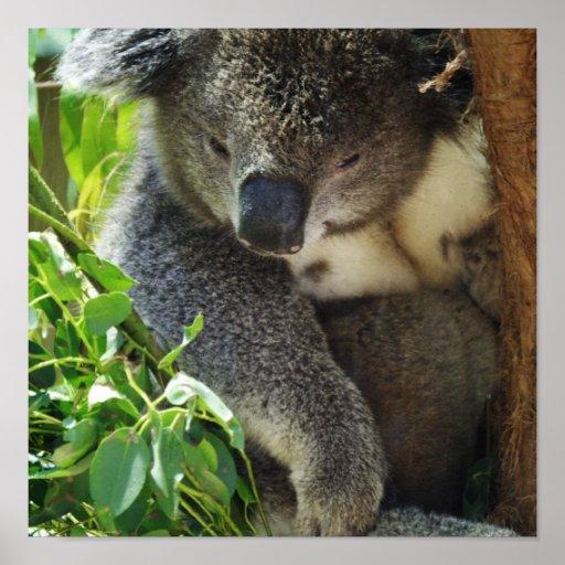 Poster casual de la koala