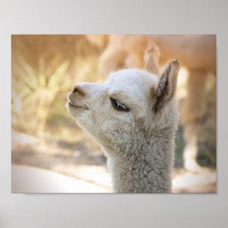Poster Celeste colorido de la alpaca