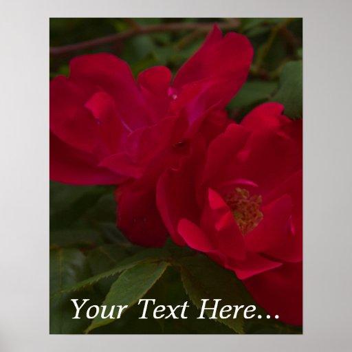 Poster color de rosa de los rosas