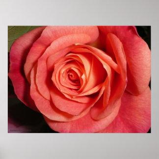 Poster color de rosa póster