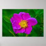Poster color de rosa salvaje del Wildflower de las