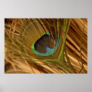 Poster colorido de la pluma del pavo real póster