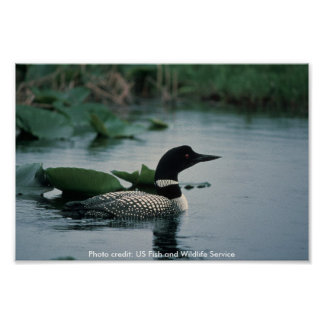 Poster /  Common Loon on Water