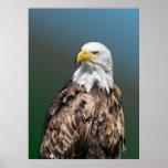 poster con weisskopfseeadler águila lago cabeza bl