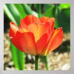 Poster coralino precioso del tulipán